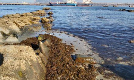 Recogidas 600 toneladas de alga invasora en Algeciras en 2019