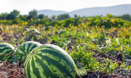 MSC dispone cinco zarpes semanales para exportación de sandías y melones desde Panamá