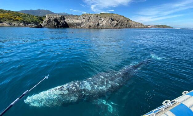 Perdida en el Mediterráneo, una ballena gris hambrienta debe encontrar la salida