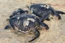 Un centenar de cadáveres de tortuga llegan a las playas de Sri Lanka tras el incendio de X-Press Pearl