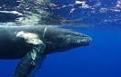 Se lanza la certificación «Whale-Safe» para que los buques eviten la muerte de 20000 ballenas al año